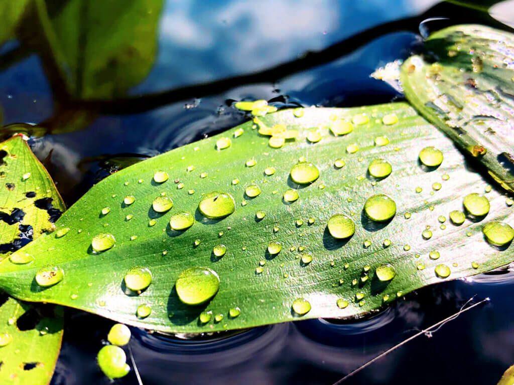 Bei diesem Foto finde ich die Wassertropfen besonders schön. Auch hier habe ich nachträglich noch ein bisschen an den Farben gedreht, damit noch ein schöner Farbkontrast zwischen Wasser und Blatt entsteht (Foto: Sir Apfelot).