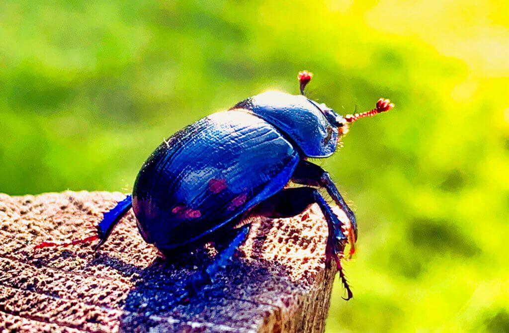 """Der Käfer wurde bei einer Kuhweide gefunden. Das Foto wurde mit dem 2x-Objektiv geknipst und beschnitten, um den Ausschnitt zu vergrößern. Die Bearbeitung hat der """"AI Auto Enhancer"""" des Luminar Flex Photoshop-Plugins erledigt (Foto: Sir Apfelot)."""