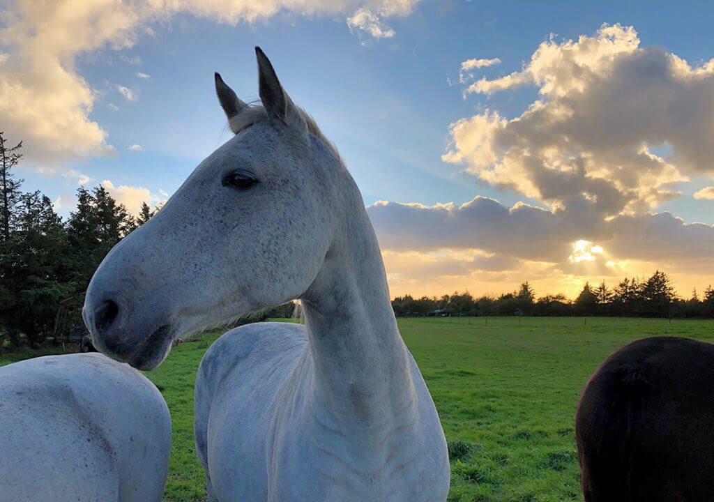 Pferde im Sonnenuntergang in Dänemark – nur möglich durch das automatische Smart-HDR im iPhone XS (Foto: Sir Apfelot).