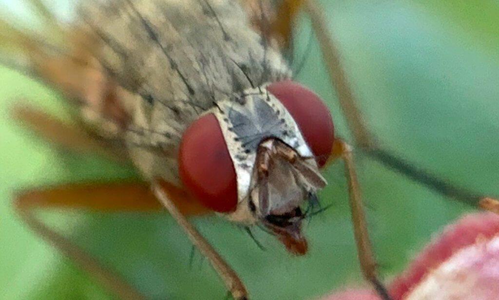 Hier ist der Kopf der Fliege in 100% Auflösung zu sehen. Das ist natürlich nicht mehr so scharf, wie beim kleingerechneten Bild, aber man sieht, wie groß die Auflösung der Makroaufnahmen eigentlich ist.