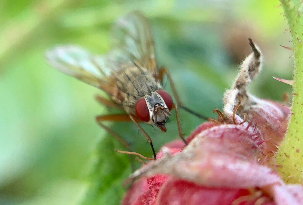 Diese Fliege war ebenfalls an Himbeeren interessiert.