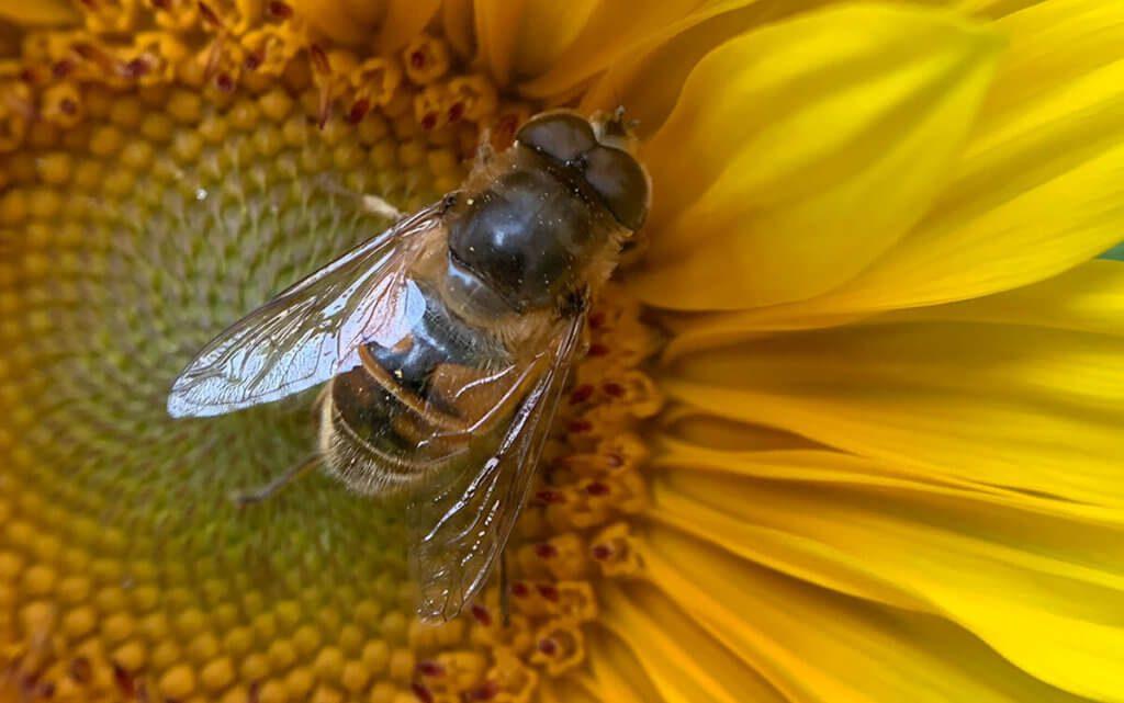 Sehr gelungen finde ich diese Bild einer Biene auf einer Sonnenblume. Ich hatte ungefähr 5 Fotos gemacht, bis ich eins hatte, auf dem die Biene auch scharf und in einer ansprechenden Position war.