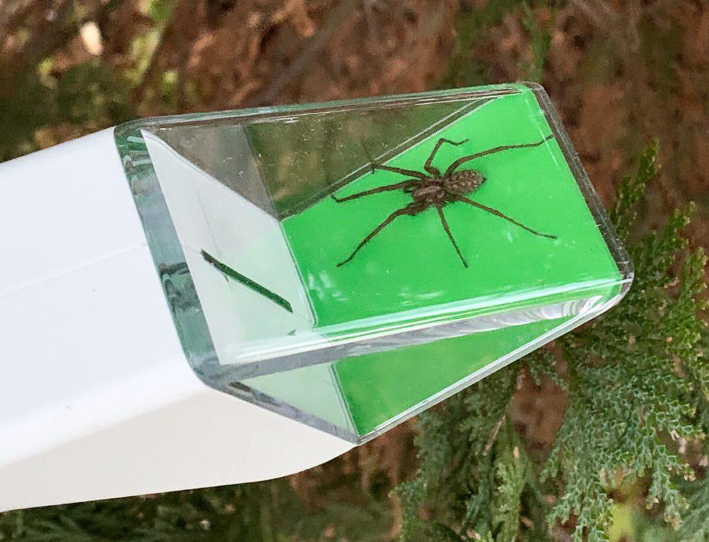 Auch für größere Exemplare bietet das Fanggerät mit 5 x 5 cm Fläche genug Platz. Wir hatten auch schon größere Spinnen, aber die mussten dann die Beine einziehen.